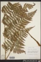 Ctenitis sloanei image