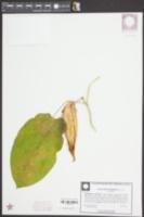 Matelea gonocarpos image