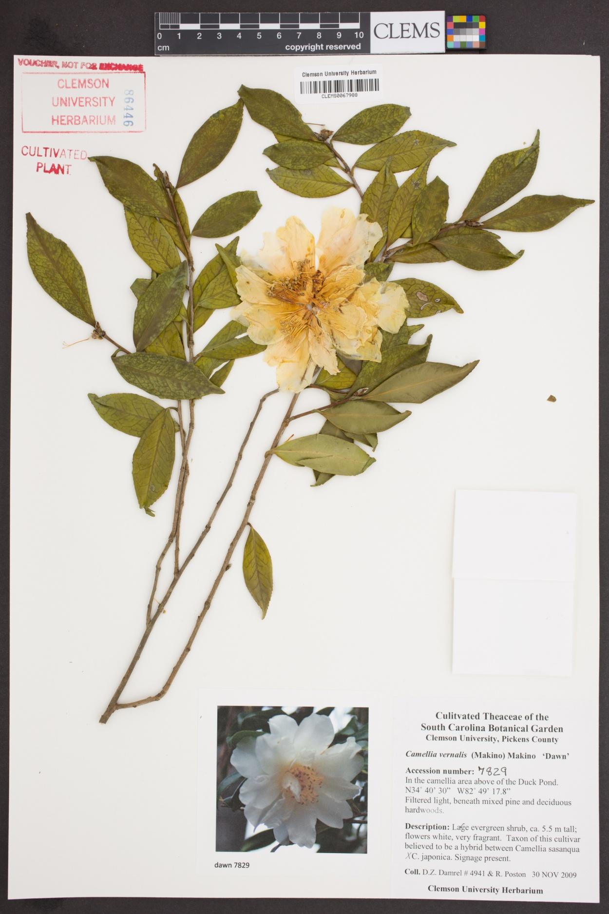Camellia vernalis image