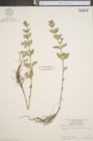 Image of Cuphea carthagenensis