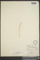 Bartonia lanceolata image