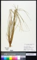Panicum chapmanii image