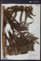 Sphaeropteris horrida image