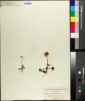 Ranunculus alpestris image