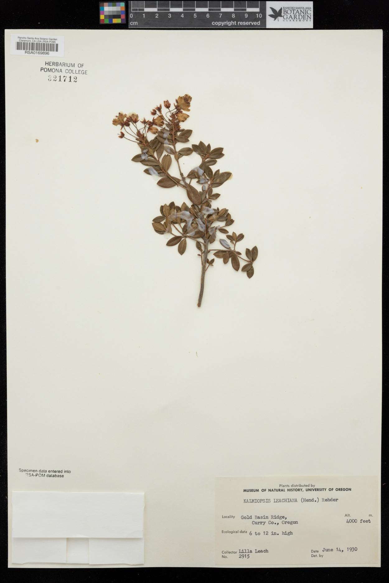 Kalmiopsis leachiana image