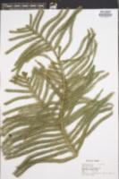 Araucaria heterophylla image