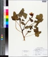 Proboscidea althaeifolia image