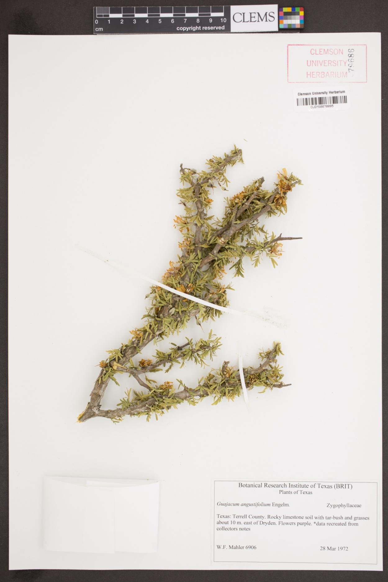 Guajacum angustifolium image