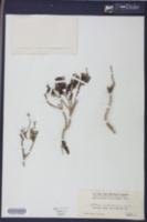 Image of Portulaca phaeosperma