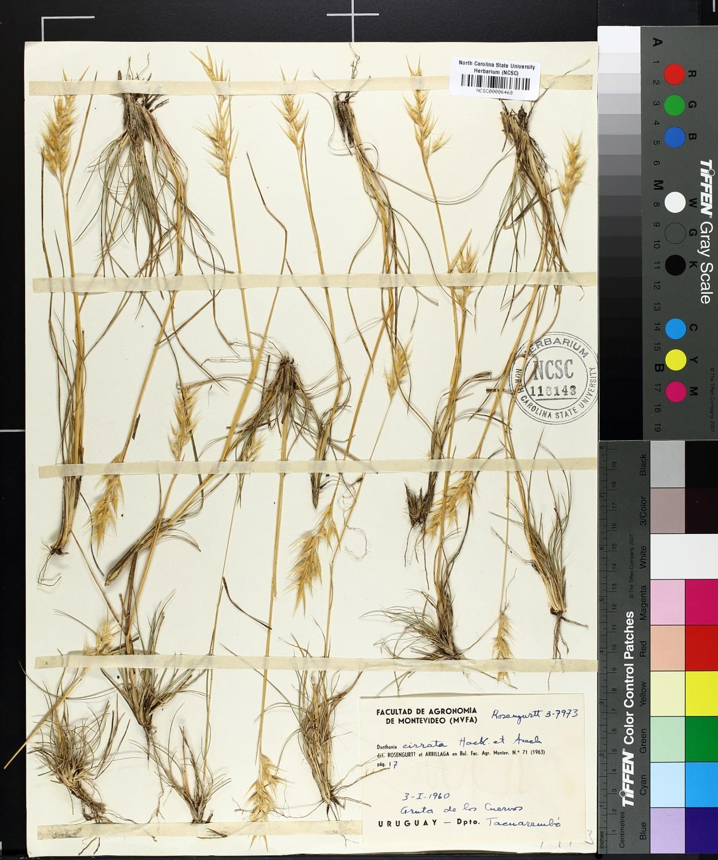 Danthonia cirrata image
