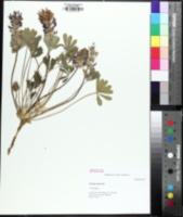 Image of Pediomelum subacaule