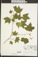 Acer leucoderme image