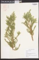Image of Juniperus bermudiana