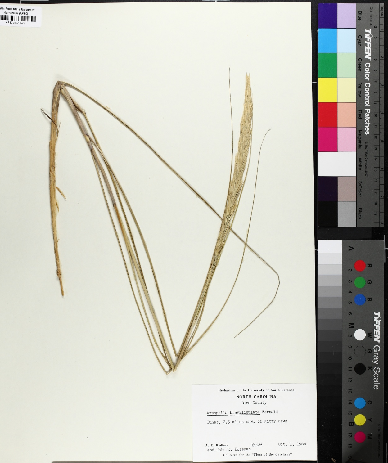 Calamagrostis breviligulata image