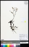 Image of Symphyotrichum bahamense
