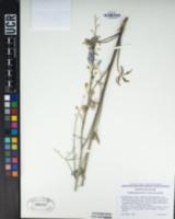 Delphinium parishii image