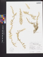 Selaginella tenuissima image