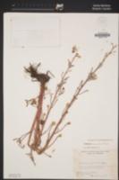 Delphinium recurvatum image