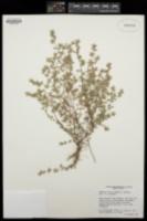 Chamaesyce dioica image