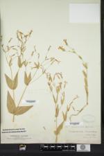 Vaccaria hispanica image