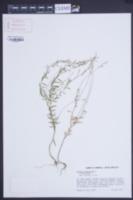 Polygala paniculata image