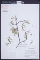 Image of Chamaesyce articulata