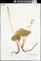Pyrola asarifolia image