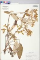 Eriogonum allenii image