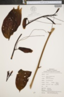 Image of Smilax purhampuy