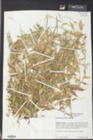 Arthraxon hispidus image
