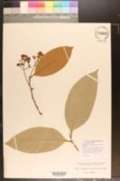 Image of Nectandra maguireana