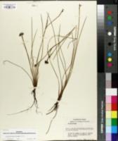 Image of Sisyrinchium biforme