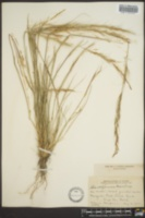 Stipa californica image