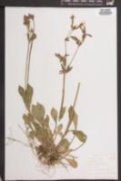 Silene virginica image