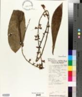 Image of Buchanania nitida