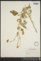 Heliopsis parvifolia image