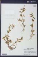 Gratiola floridana image
