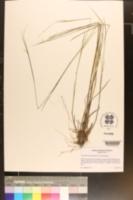 Image of Coleataenia tenera