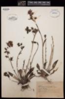 Image of Echeveria maculata