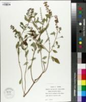 Image of Ocimum micranthum