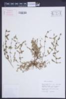 Image of Bergia trimera