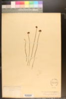 Image of Schizaea pectinata