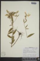 Image of Oenothera sessilis