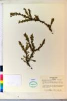 Cotoneaster horizontalis image