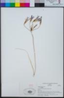 Brodiaea elegans image