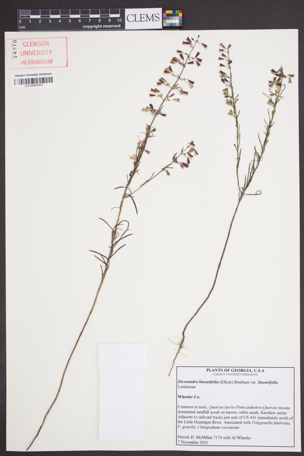 Dicerandra linearifolia var. linearifolia image
