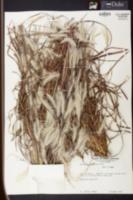 Andropogon ternarius image