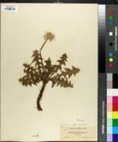 Image of Taraxacum taraxacum