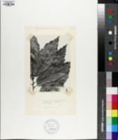 Quercus xalapensis image