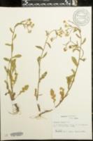 Image of Erigeron tenuis